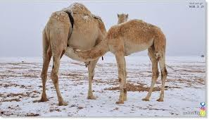 Snow In Sahara Anomalous Snow Storm Blankets Desert In Saudi Arabia Earth