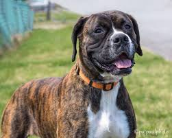 boxer dog rescue new life boxer rescue