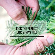 fresh christmas tree care guide the prudent garden