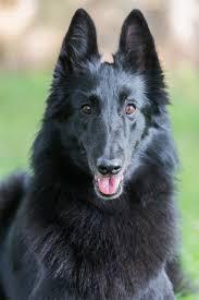 belgian sheepdog for adoption top 25 smartest dog breeds most intelligent dog rankings