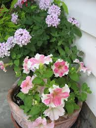 what u0027s a petunia planting for different garden styles