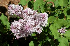 Lilac Flower by Miss Kim Lilacs Compact Alternative For Small Yards