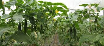 How To Grow Cucumbers On A Trellis Cucumber Photo Gallery Hortomallas Supporting Your Crop