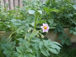 do potato plants bloom u2013 why potato plants flower and fruit