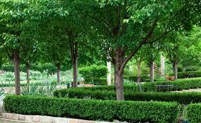new ornamental pears burke s backyard
