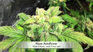 growing autoflower with led lights autoflower marijuana under led grow lights 3 autoflower cannabis