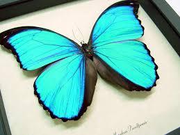 morpho m pucallpensis butterfly designs framed butterflies