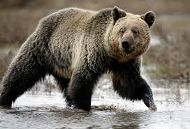 u s erred in declining protections for remote grizzly bears