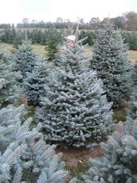 big s trees trees
