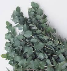 silver drop eucalyptus silver drop eucalyptus eucalyptus gunnii best variety for