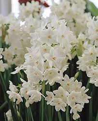 paperwhite flowers paperwhite bulb 5 pack daffodil white perennial
