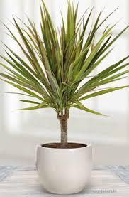 dracaena how do you care for dracaena marginata plant at home home gardeners