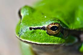 green frog eyes free stock photo