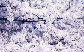 cherry blossoms 3 wallpaper flower wallpapers 20748