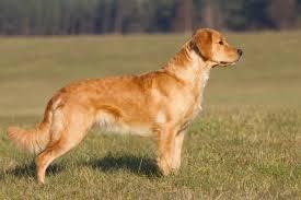 Comfort Retriever Puppies For Sale Golden Retriever Dogs And Puppies For Sale In The Uk Pets4homes