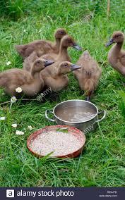 young baby duck ducklings khaki campbell kortang strain stock