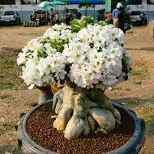 white roses for sale discount desert roses plants 2017 desert roses plants on sale at