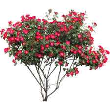 Bougainvillea Topiary - bougainvillea new river braided topiary tree s7826 nr at t