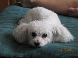 this is our dog a maltese with a bichon friese haircut
