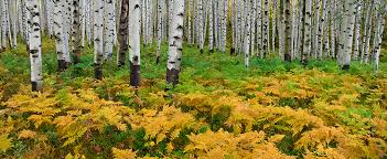 Colorado forest images Aspen forest panoramic photograph colorado photo jpg