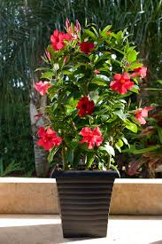 Braided Hibiscus Tree Pictures by Tropic Escape Hibiscus And Mandevilla Costa Farms