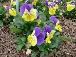 pansies violas make ideal winter flower gardens