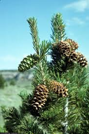 usda native plants genetic conservation five needle pines usda forest service