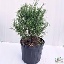 Rosemary Topiary Locate U0026 Find Wholesale Plants Plantant Com