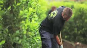 planting a native hedge build a hedge planting living walls instant hedges youtube