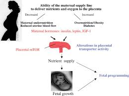 role of the placenta in fetal programming underlying mechanisms
