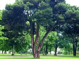 Define Tree 40 Pine Trees From Around The World