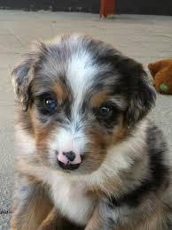 australian shepherd family dog i present my sisters australian shepherd puppy blu australian