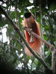 33 best plants for birds list of birds of papua new guinea wikipedia