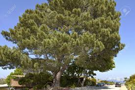 large pine tree point loma with a view of san diego california
