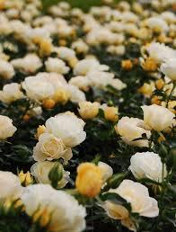drift roses popcorn drift monrovia popcorn drift