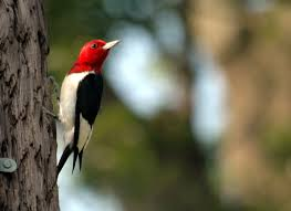 what does wood symbolize woodpecker symbolism a message spirit animal totems