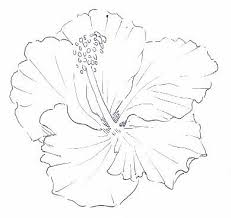 drawn hibiscus hibiscus plant pencil and in color drawn hibiscus