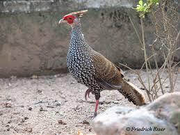 pheasant pheasants pheasant bird