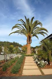 palm trees in landscape mediterranean with mulch traditional outdoor