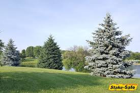 evergreen trees hearty trees that stay green year