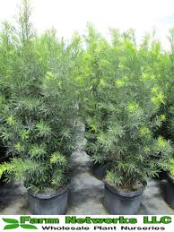 hedging plants budget wholesale nursery miami podocarpus podocarpus plant podocarpus podocarpus