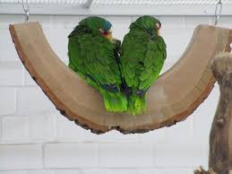free photo green parrots birds free image on pixabay 2124529