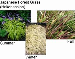 46 best japanese forest grass images on ornamental