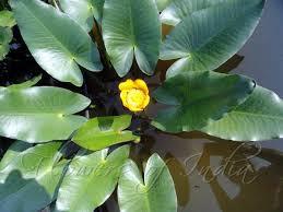 garden flowers of india