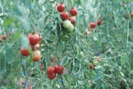 Tomato Plant Wilt Disease - what causes a tomato plant to go limp home guides sf gate