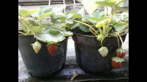growing strawberries in small pots youtube