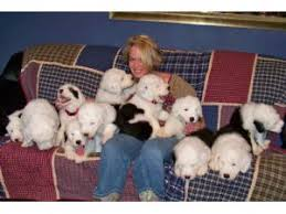 belgian sheepdog puppies texas old english sheepdog puppies in texas