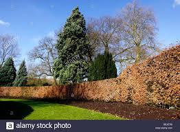 fagus sylvatica fagus sylvatica beech hedge in winter stock photo royalty free
