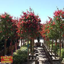 bottlebrush evergreen trees big tex tree nurseries