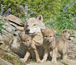 why the wolves of montana need our help